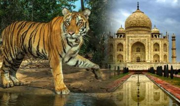 Tiger Safari and Taj Mahal Tour India